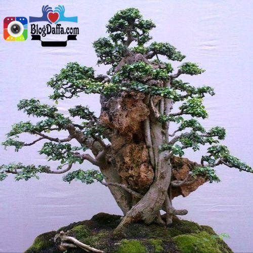 cara merawat bonsai serut