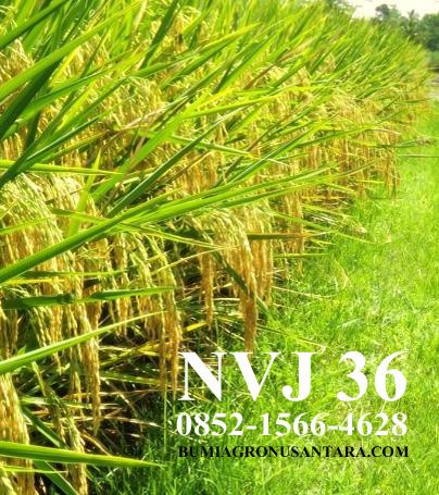 NVJ 36 Padi Unggul Terbaik | Potensi Hasil Hingga 12 Ton per Ha