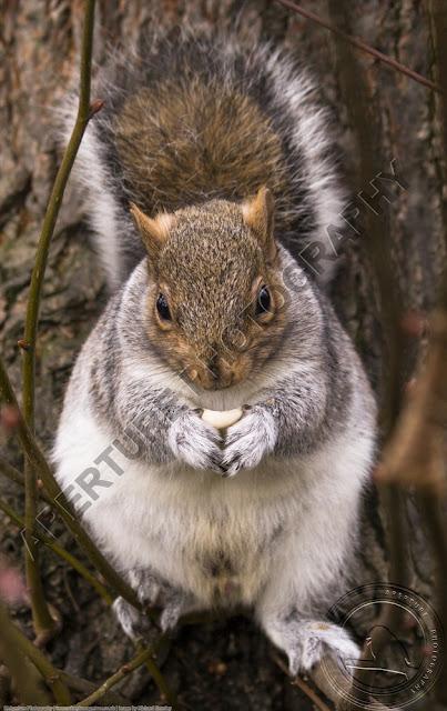 Grey squirrel eating a nut