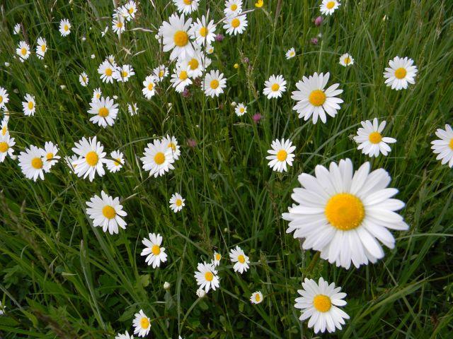piękne kwiaty margerytki na wiosennej łące