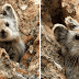 The Ili Pika, a Cute Teddy-Bear-Looking Animal, Might Not Exist in a Few Years