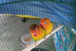 Tanpa Dokumen, Sepasang Love Bird Ditolak Masuk Ambon