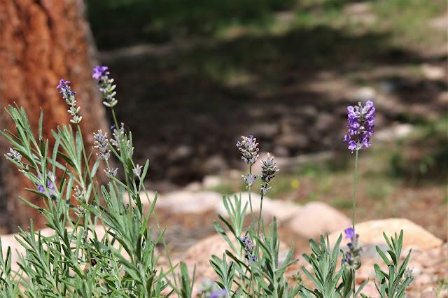cottage, garden, flower, gardens, lavender, athomewithjemma.com