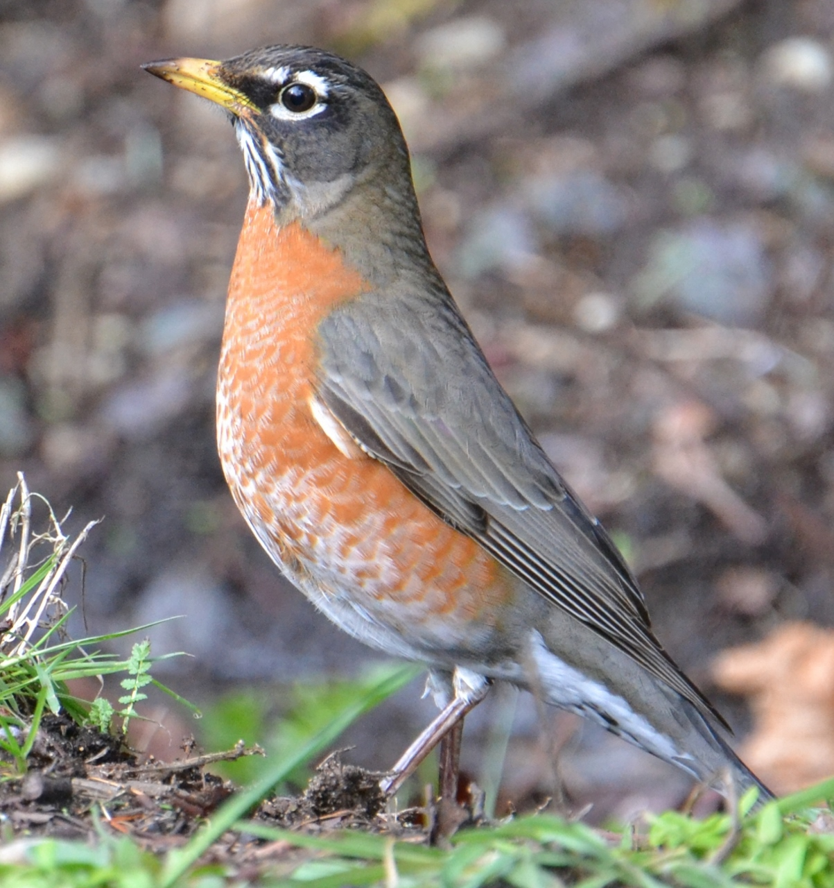 bird of the day american robin