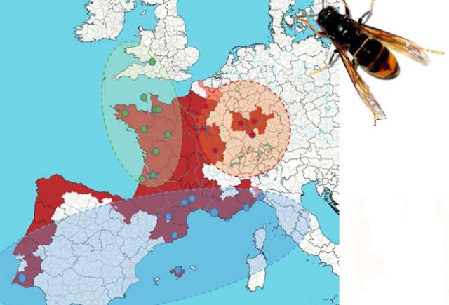 Εφιάλτης: Αυξάνει η εξάπλωση της Ασιατικής σφήκας στην Ευρώπη