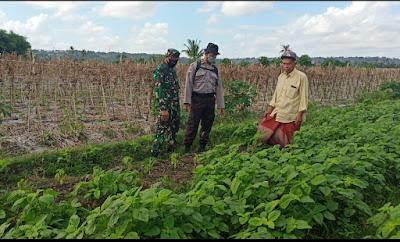 Foto : Bhabinkamtimas Desa Kerato, Aipda Heru Tugas S, SH dengan Babinsa Serma Baharuddin Saat Mengunjungi Petani Sayur