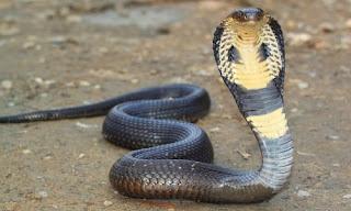 Snake Spoon King (King Cobra)