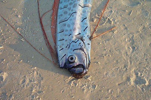 Oarfish - Fishes World - HD Images & Free Photos Oarfish 56 Ft