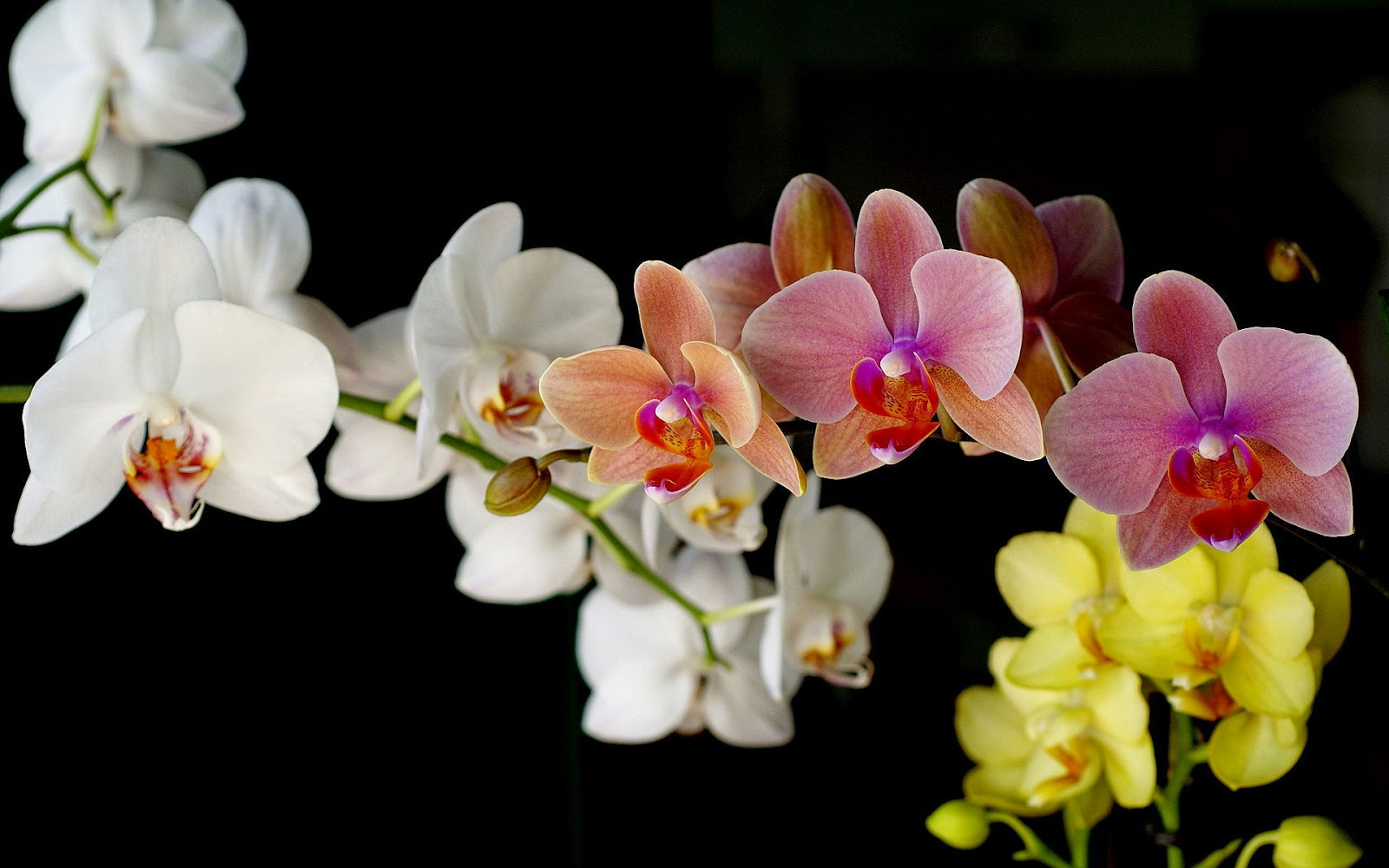 Many-color-Orchid-flower-black-background-wallpaper.jpg