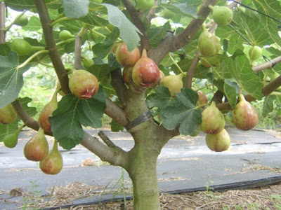 The benefits of Tin or Fig Fruits for Health