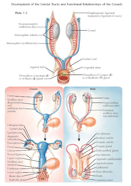 HOMOLOGUES OF THE INTERNAL GENITALIA