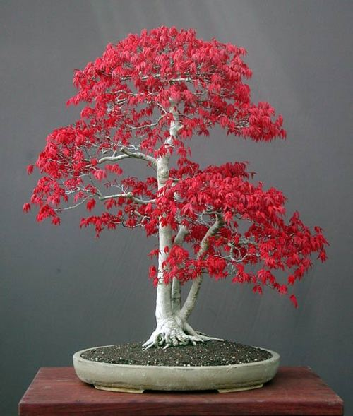 開心瘋人院: 以後看楓葉在家看就好了........楓樹盆栽
