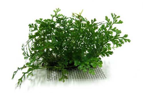 cây thủy sinh dương xỉ châu phi lùn là loại cây nhập khẩu