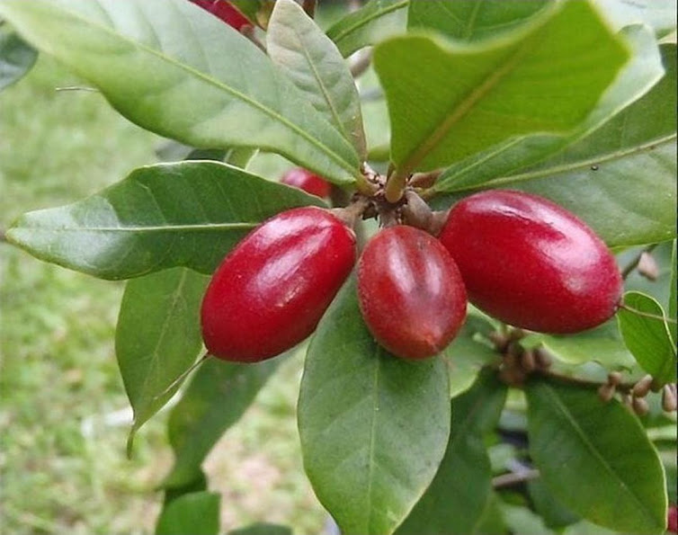 Bibit Buah Ajaib Miracle Fruit Parepare