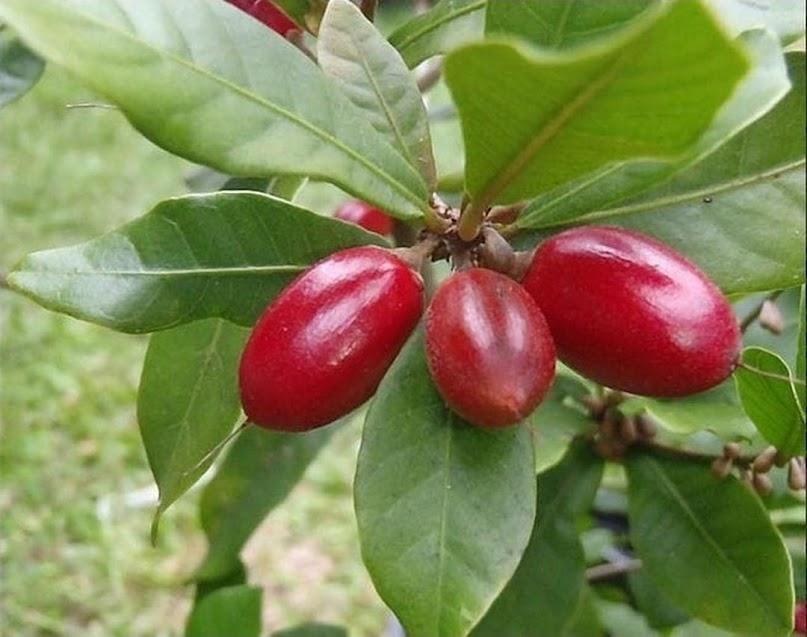 Bibit Buah Ajaib Miracle Fruit Jambi