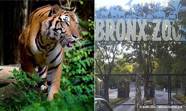 Coronavirus: Tigre da positivo para COVID-19 en un zoológico de Nueva York