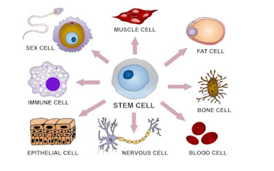 WHAT ARE STEM CELLS AND THEIR USE IN STEM CELL THERAPY? (#biochemistry)(#ipumusings)(#genetics)(#biotechnology)