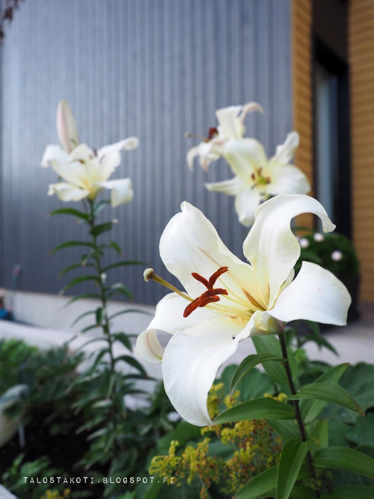 Puutarha, liljan kukka