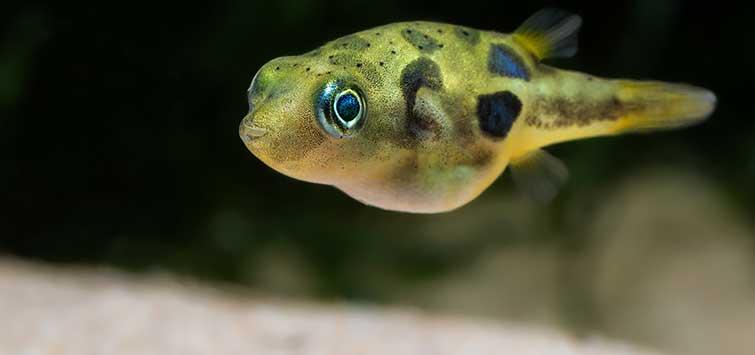 IKAN HIAS AIR TAWAR LANGKA - Dwarf Offer Fish