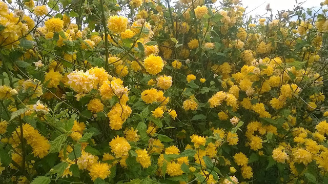 life between the flowers Kerria Japonica Pleniflora Jews mantle Batchelor's buttons