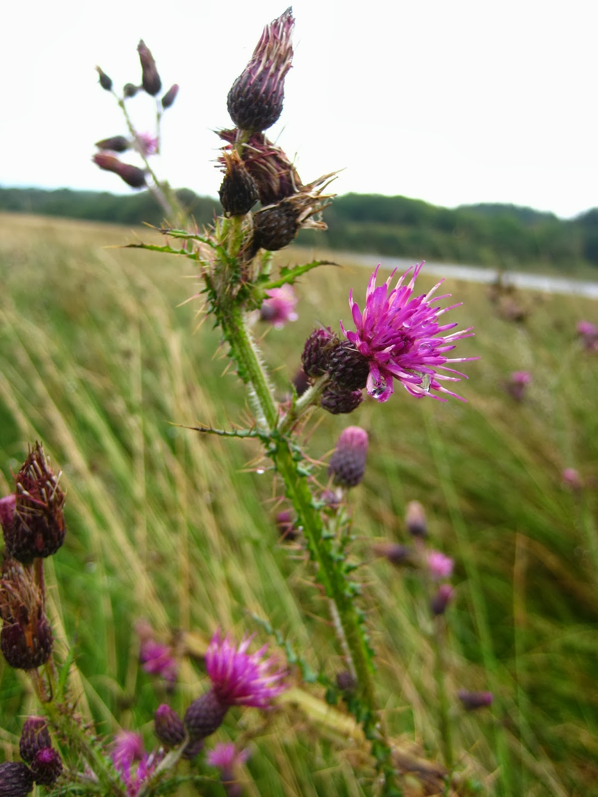 {ErinOutandAbout} Thistle in the Highlands