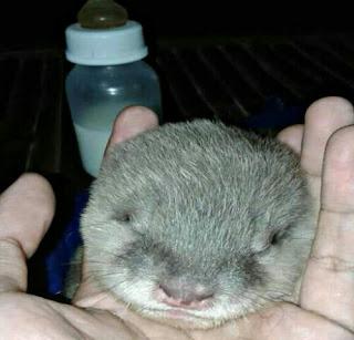 Cara Merawat Bayi Otter