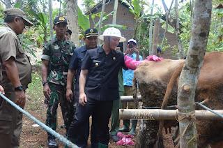 Wabup Arifin  Antusias Melihat Warga Desa Gading, Ikuti Rekayasa Intensifikasi Sapi Induk Pedesaan