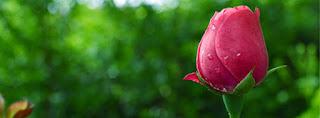beautiful rose facebook timeline covers