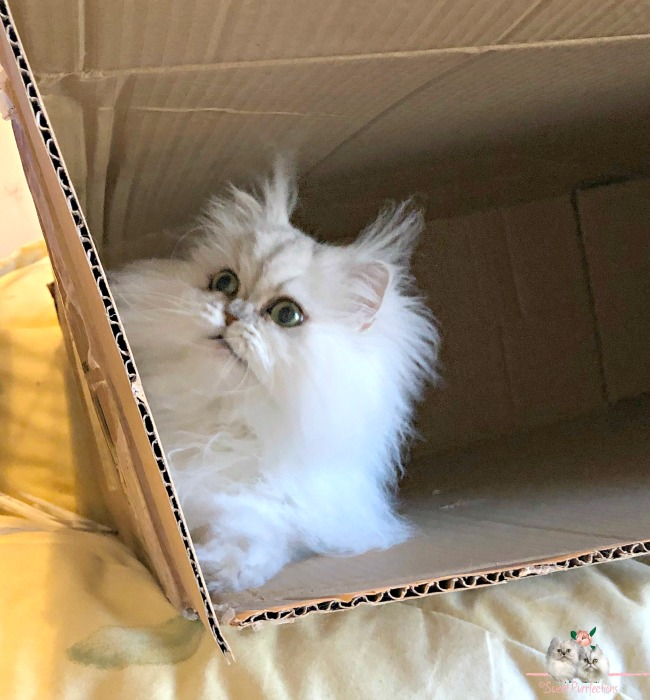 silver shaded Persian, Brulee, inside box