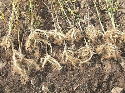 two year skirret roots