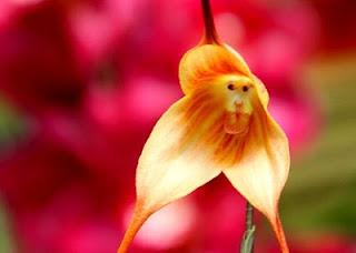http://dayahguci.blogspot.com/2016/02/inilah-anggrek-berwajah-monyet.html