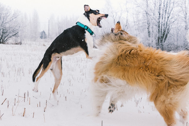 rough collie against smooth collie