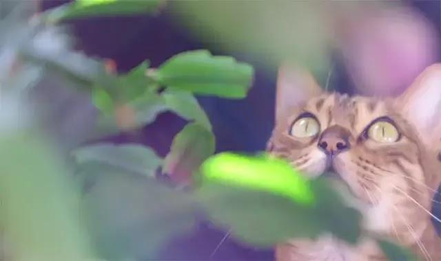 Mon chat Bengal me rend fou - Que puis-je faire