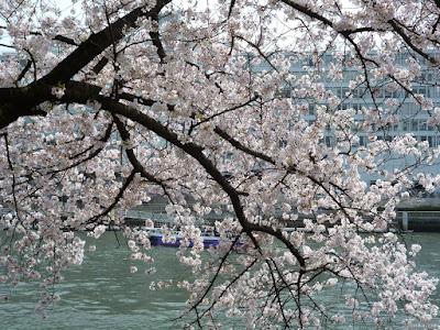 桜越しの淀川