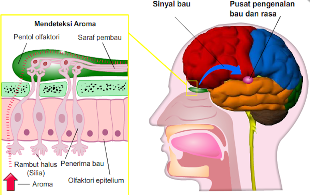 Anatomi syaraf olfaktori