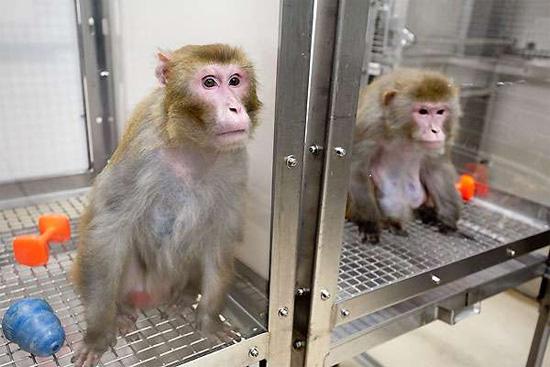 Cientistas inserem gene do cérebro humano em macacos em pesquisa polêmica - Img1