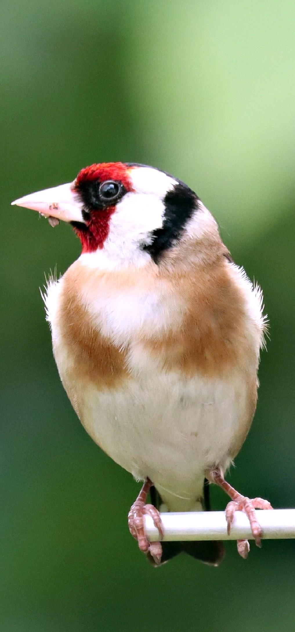 Beautiful goldfinch bird.