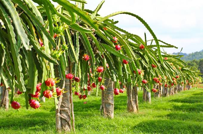 Dragon Fruit Cultivation: A Complete Guide for Beginners