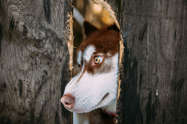 A guide to negative reinforcement in dog training, illustrated by a handsome Husky sticking his head through a fence