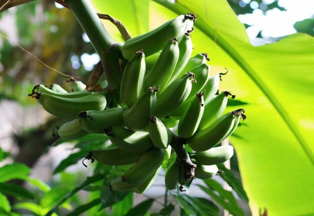 Green bananas growing on African soil