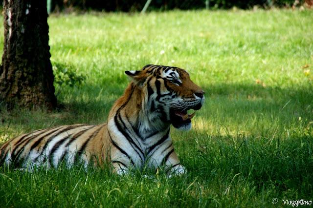 Tigri ospiti allo zoo safari pombia