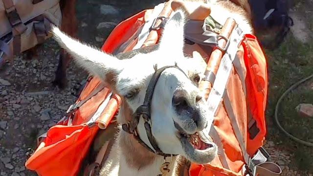 Happy Llama Eating Up Close