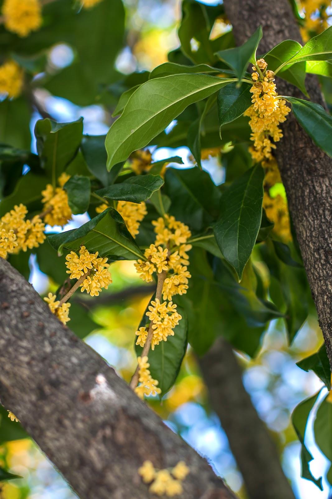 osmantus - wonne drzewo z Chin