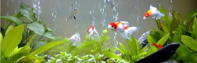 Hướng dẫn cách cho cá cảnh ăn đúng cách đảm bảo cá luôn khỏe mạnh