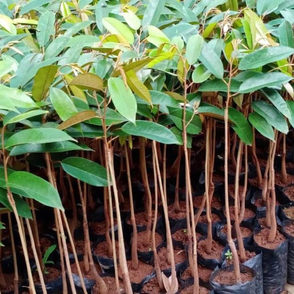 Bibit Durian Bawor Hasil Okulasi Mojokerto
