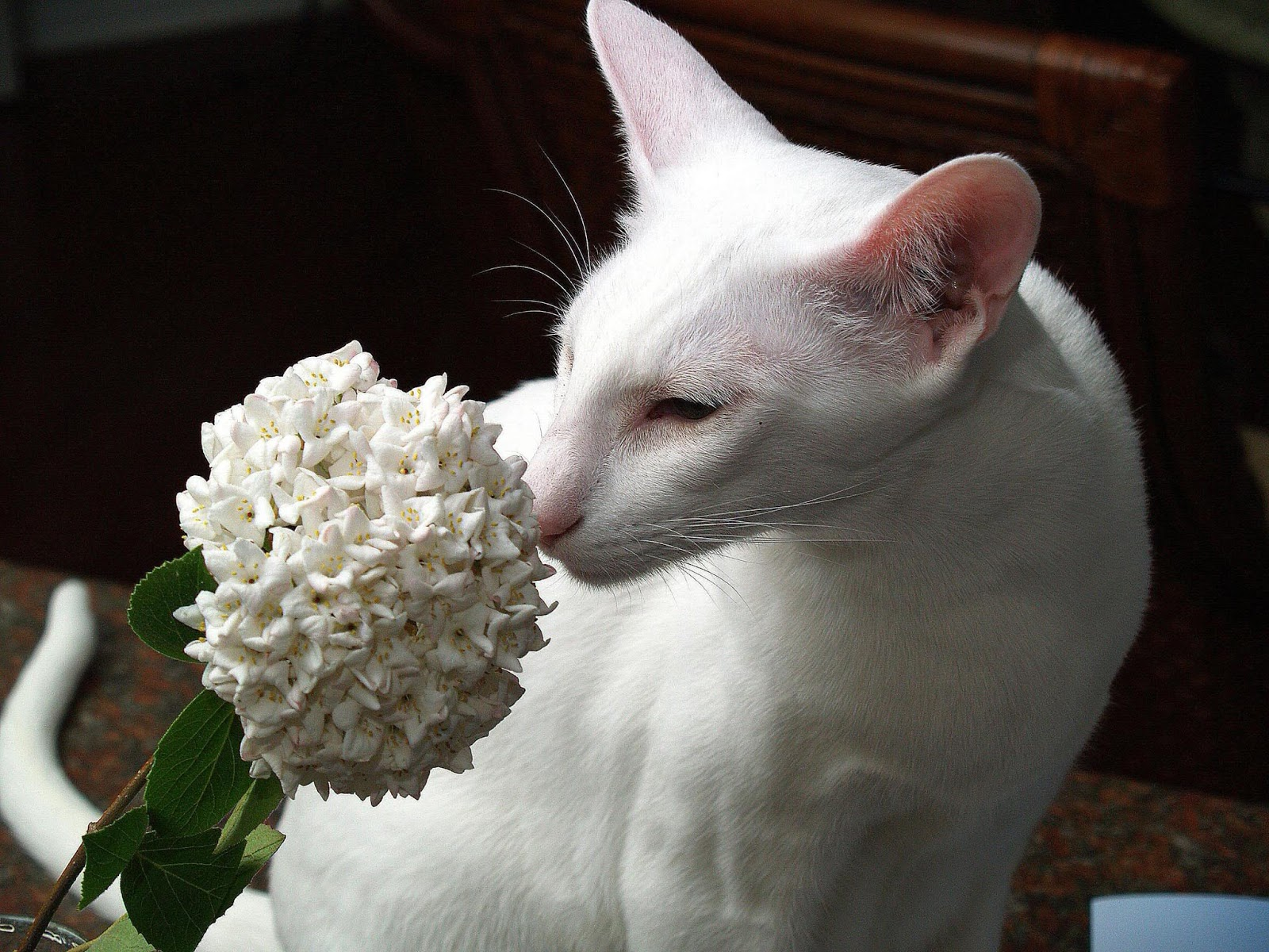 Cooinda Cat Resort - Kitty Kapers: Cat Breeds: Oriental ...