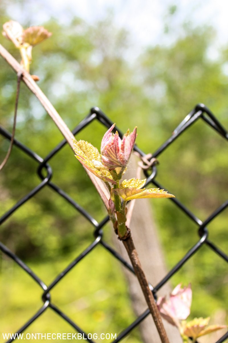 Blooming grape vines | On The Creek Blog