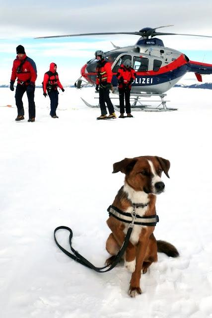 Österreichischer Pinscher als guter Bergrettungshund im Winter
