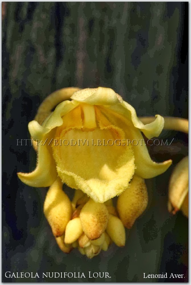 Galeola-nudifolia-2