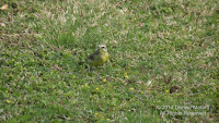 Yellow-fronted canary – Diamond Head, Oahu